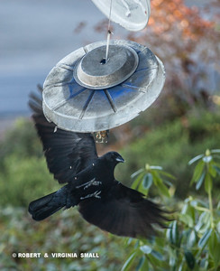 FRUSTRATED CROW TRYING TO GRAB A BITE OF SUET ON THE FLY!
