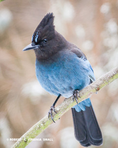 STELLER'S JAY, A SPLASH OF COLOR AGAINST THE SNOWY BACKGROUND