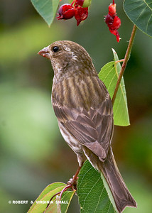 PURPLE FINCH FEMALE EATING SERVICEBERRIES