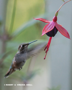 FEMALE RUFOUS SEEKING NECTAR FROM A FUSCHIA BLOSSOM