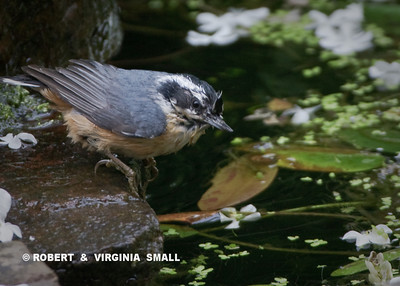 A RED-BREASTED NUTHATCH DAMP AFTER A BATH AT THE POND