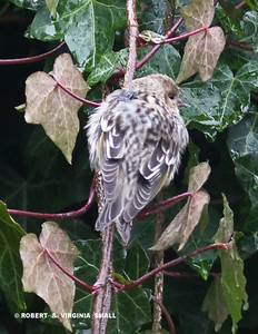A PINE SISKIN IN THE IVY ON OUR FENCE, HUDDLING TO KEEP WARM ON A COLD MORNING