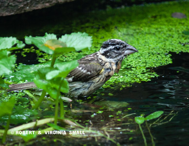 "A young Black-headed Grosbeak enjoys a ""walk on water"" on our pond"