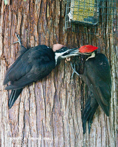 HOW DOES A PARENT FEED A YOUNG PILEATED WOODPECKER?  VERY CAREFULLY!