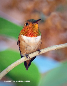 ONE OF OUR FAVORITES, THE COLORFUL RUFOUS HUMMINGBIRD