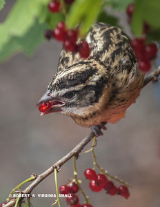 Black-headed Grosbeak sampling the Red Currant berries on one of the two bushes in our back garden