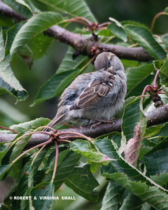 CATCHING A FEW WINKS IN OUR CHERRY TREE IS A LITTLE HOUSE SPARROW FLEDGLING WHILE IT WAITS FOR IT'S NEXT FEEDING FROM IT'S PARENT . . .