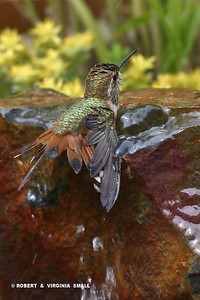 RUFOUS HUMMINGBIRD BATHING AT POND BUBBLER