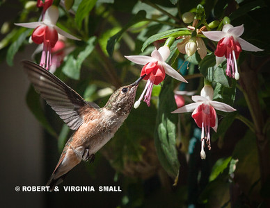 One of the many Rufous Hummingbirds taking nectar from a hanging fuchsia