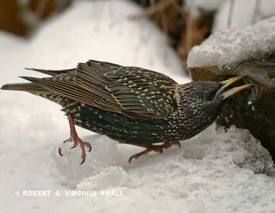 EUROPEAN STARLING DRINKING AT THE WATER BUBBLER IN WINTER