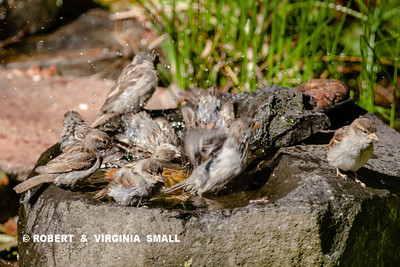 BIG SPLASHES AS HOUSE SPARROW FLEDGLINGS ATTEND A COMMUNITY BATH