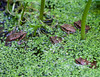 Classroom for froglets?    Maybe . . .    Many of the pollywogs we noticed early this summer in the pond have emerged as froglets.  Some have even grown enough to make their way beyond the pond and back to the woodlots nearby.
