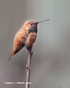 WELCOME BACK, RUFOUS HUMMINGBIRD - SPRING CAN'T BE FAR BEHIND  !