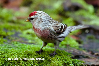 COMMON REDPOLL  ( MALE )