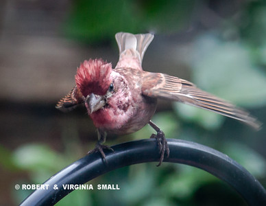 PURPLE FINCH FLEDGLING 'POLE DANCING' AS IT BEGS FOR FOOD