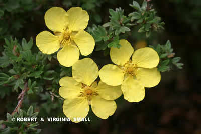 BLOSSOMS OF THE UNASSUMING POTENTILLA