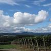 Grape rows, Alloro Vineyards, Sherwood, Oregon
