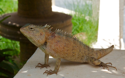 A lizard sitting in the mid-day shade, Thanjavur, India.