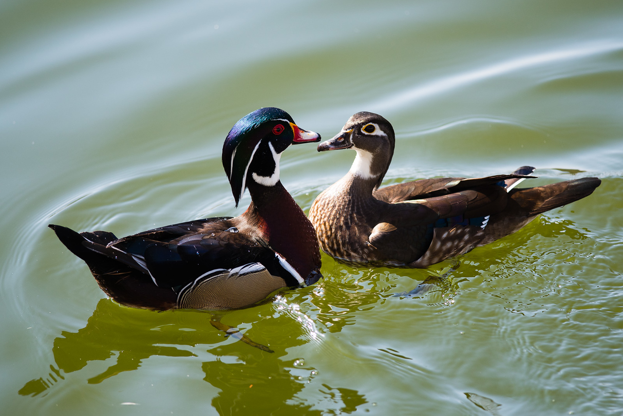 Wood Duck, Mr and Mrs