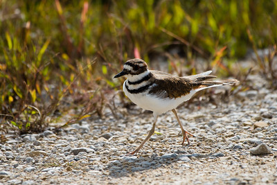 Killdeer, Blue Grass FWA