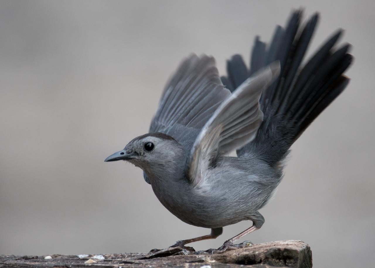 Gray Catbird, Evansville