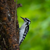 Hairy Woodpecker, Indianapolis