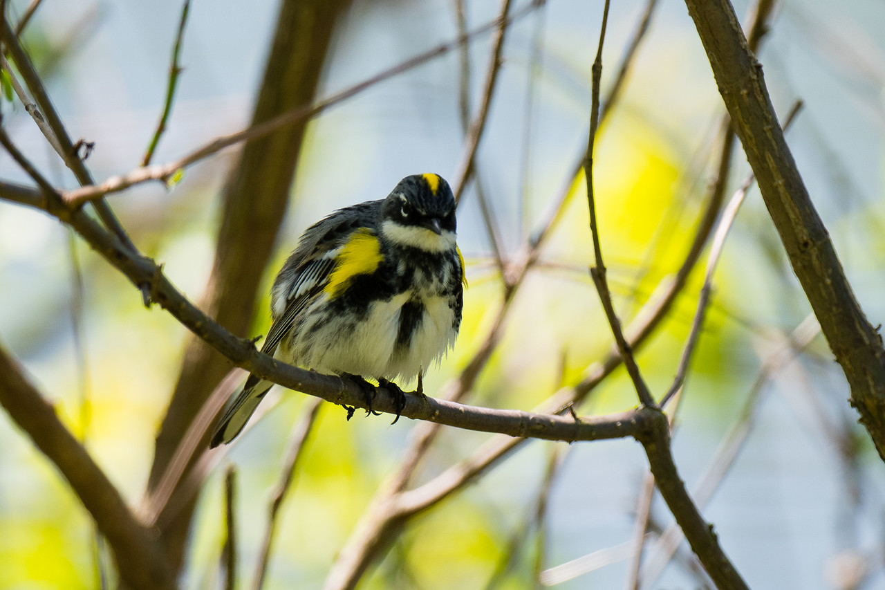 Yellow Rumped Warbler, Audubon State Park, KY