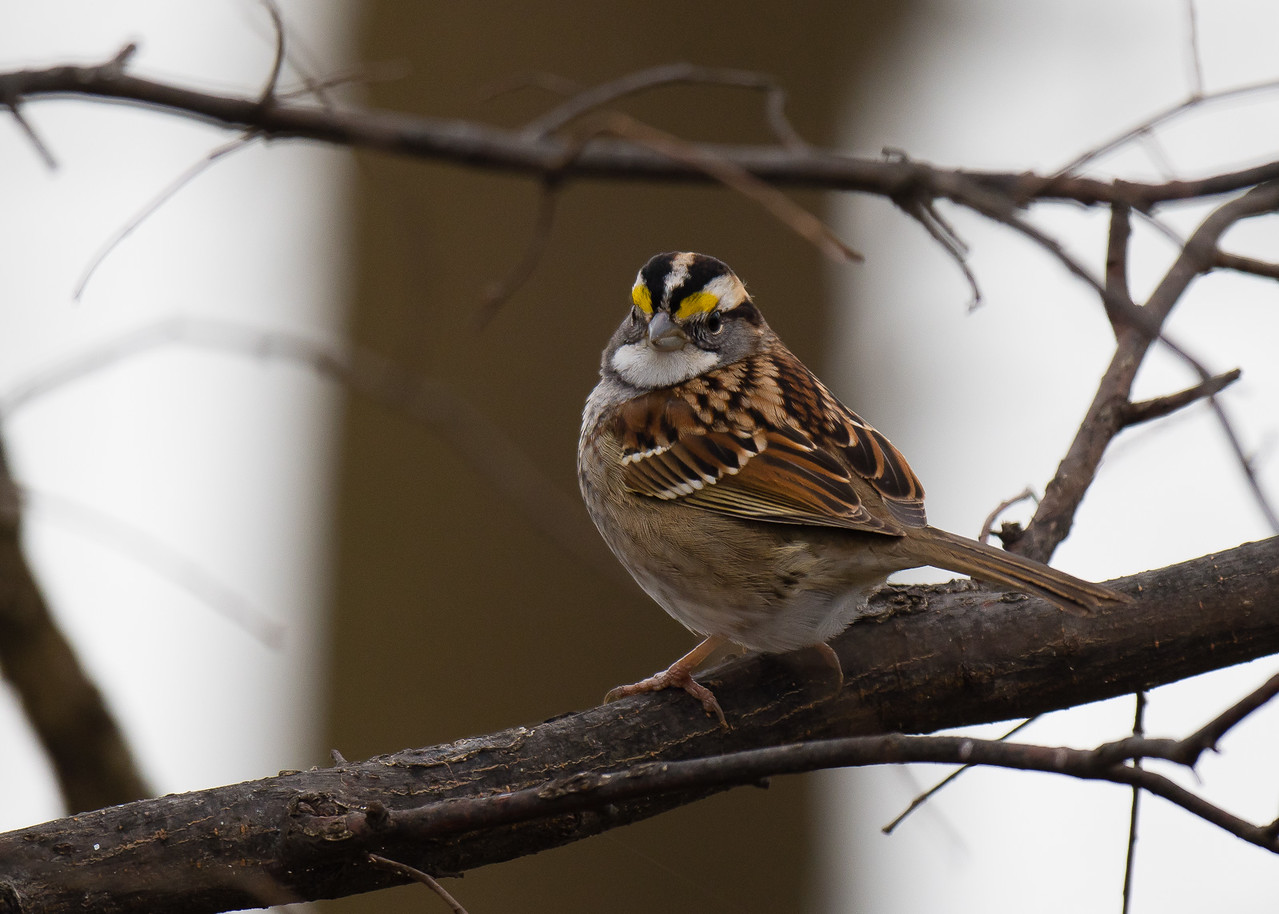 White Throated Sparrow, Hovey Lake, Indiana
