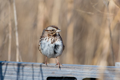 Song Sparrow, Blue Grass FWA