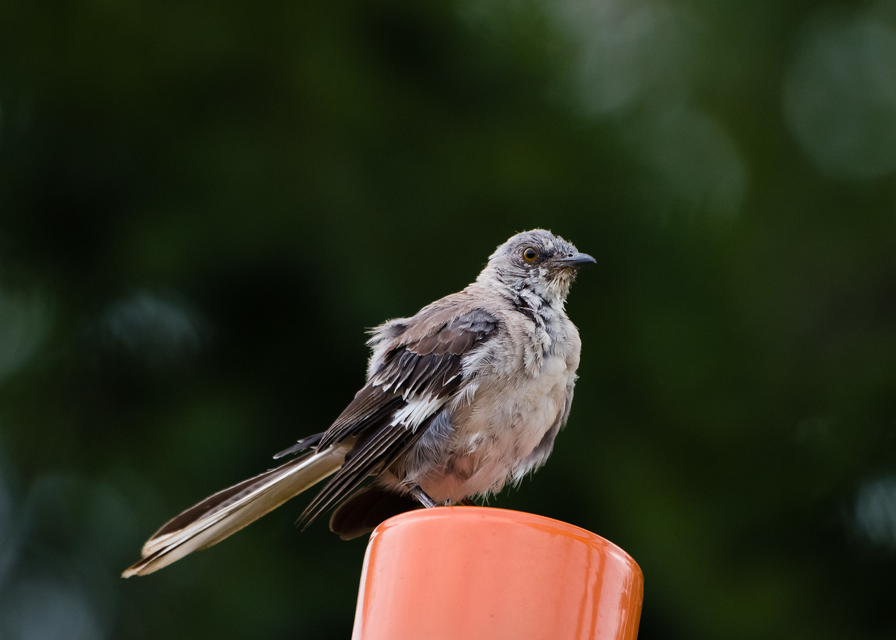 Northern Mockingbird, Chick