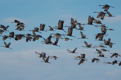 Sandhill Cranes, Ewing Bottoms