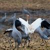 Whooping Crane, Sandhill Cranes