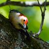 Red Bellied Woodpecker, Male