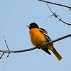 Baltimore Oriole, Eagle Creek Lake Park, Indianapolis