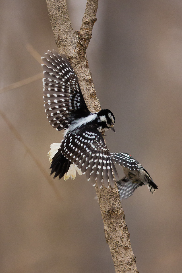Hairy Woodpecker and Downy Woodpecker, Wesselman Woods