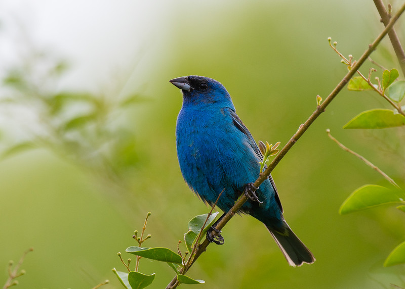 Indigo Bunting, Shelby Bottoms, Nashville, TN