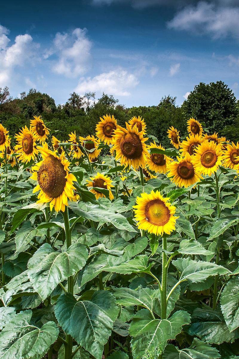 Sunflowers - Atterbury State Fish and Wildlife Area