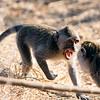 Crap again monkey fight