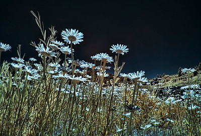 The drama of infrared daisies at Lake Simpatico in Forest Lakes, Colorado