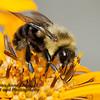 Bee on Golden Flower