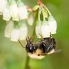Honey Bee on Blueberry Bush