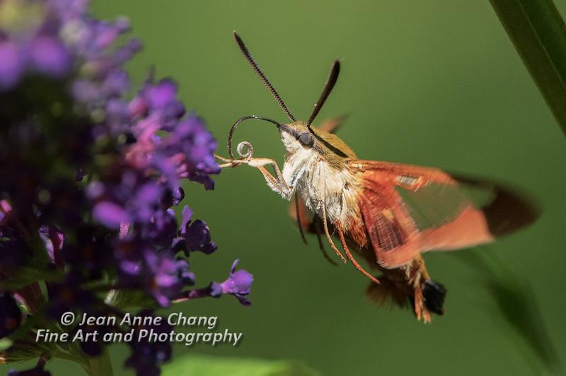 Hummingbird Moth on Butterfly Bush - 2