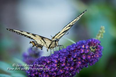 Eastern Tiger Swallowtail on Butterfly Bush - 4