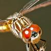 Dragonfly Macro - 2