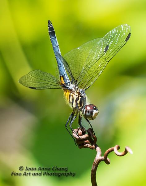 Dragonfly on Vine