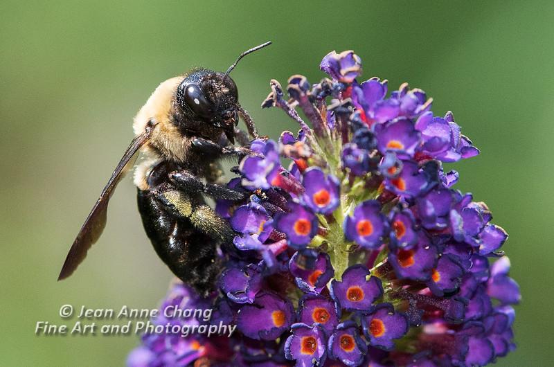 Bee on a Butterfly Bush