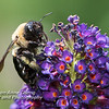 Bee on a Butterfly Bush