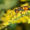 Hornet on a Goldenrod Branch