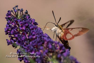 Hummingbird Moth on Butterfly Bush #3