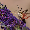 Hummingbird Moth on Butterfly Bush #3